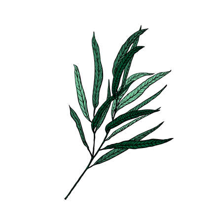 Vector illustration of eucalyptus willow in sketch style. Branch with leaves. Winter medicinal herb. Suitable for cosmetics, medicine, treatment, healthcare Vecteurs