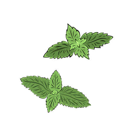 Colorful melissa hand drawn set. Green seasoning. Medicinal herbs and spices. Harvest green raw lemon balm branches, leaves. Herbal vector illustration isolated on white background Illusztráció