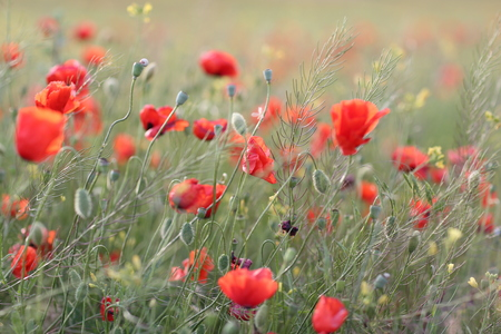Blooming red poppy field in June on the peninsula of Crimea Stock Photo