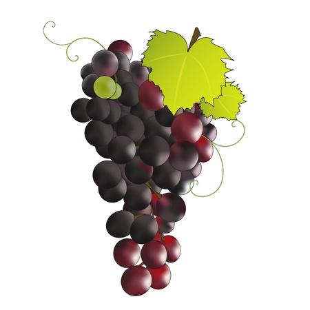 purple grapes: Bunch of black grapes. Illustration
