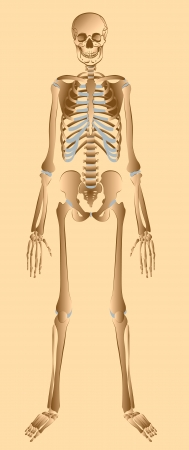 Illustration of human skeleton front view  illustration