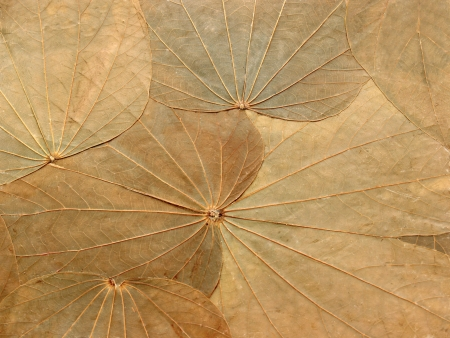 desiccation: Abstract background texture of dried leaves herbarium Stock Photo