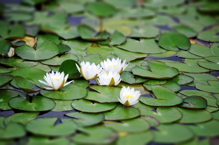 nymphaea: White Nymphaea albas surrounded by leaves