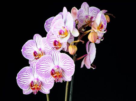 orchid branch: Phalaenopsis orchid branch isolated on black Stock Photo