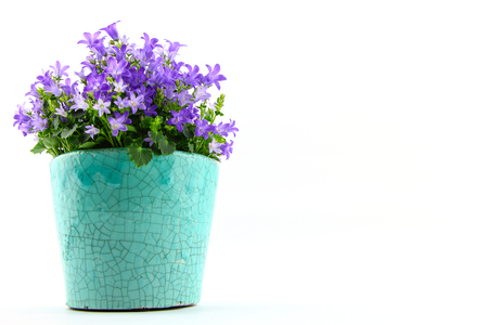 campanula: Potted Campanula Portenschlagiana isolated on white background