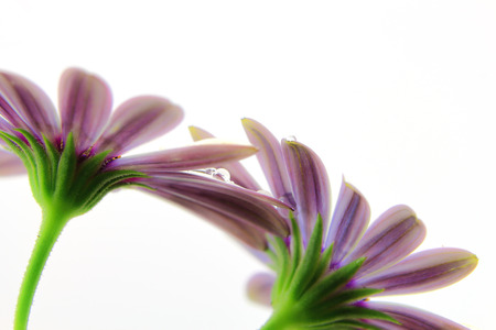 osteospermum: Violet Osteospermum with water droplets on petals