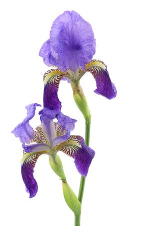 irises: Purple iris flower isolated on white background