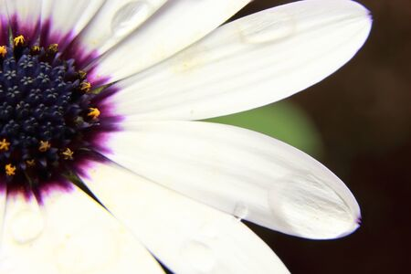 osteospermum: White Osteospermum with water droplets on petals