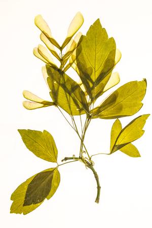 acer: Illuminated herbarium of Acer negundo seeds and leaves, isolated on white background. Stock Photo