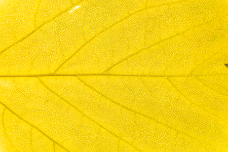 illuminated: Illuminated leaf texture background.