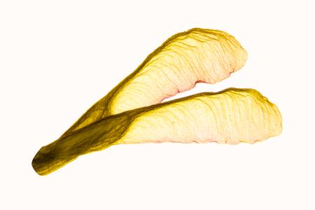 acer: Illuminated herbarium Acer negundo seeds closeup, isolated on white background.