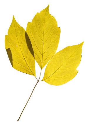 herbarium: Illuminated herbarium of Acer negundo leaves, isolated on white background.