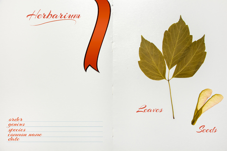 herbarium: Open herbarium album with Acer negundo seeds and leaves Stock Photo