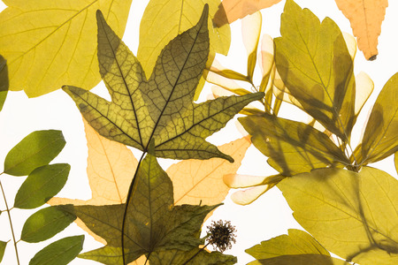 herbarium: Illuminated herbarium with various leaves, on white background. Stock Photo