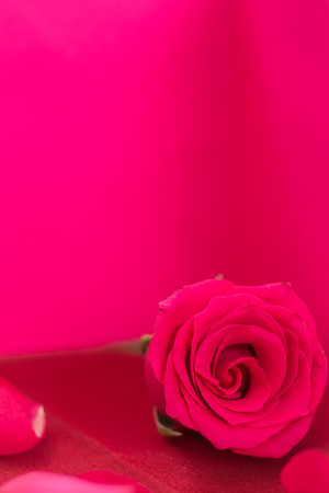 Closeup of red rose and petals, on pink background and copy-space.