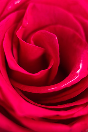Closeup of wet red rose petals, abstract background.