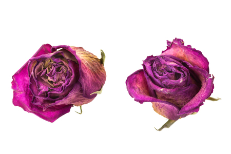 Two dry red rosebuds, isolated on white background. Stock Photo