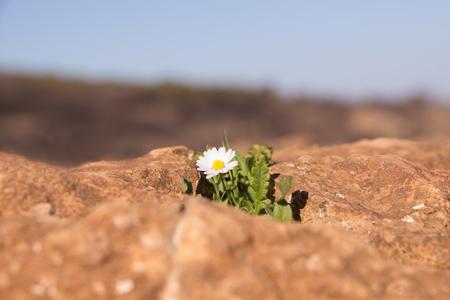 irrespeto: Sola margarita amarilla blanca en paisaje rocoso.