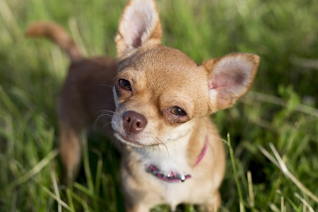 chihuahua puppy: a tiny chihuahua on a grassy hill