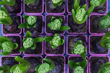 hyacinth: hyacinth set