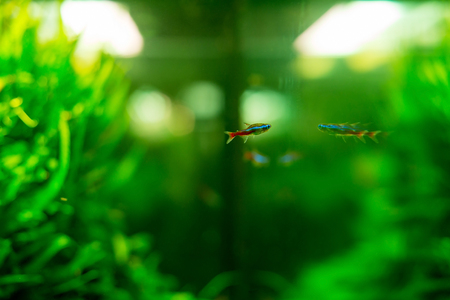neon tetra: One neon and its reflection in the glass of the aquarium