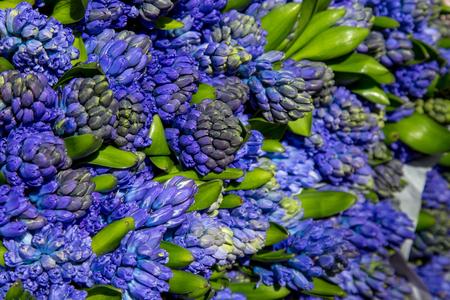 deep blue flowers of hyacinths