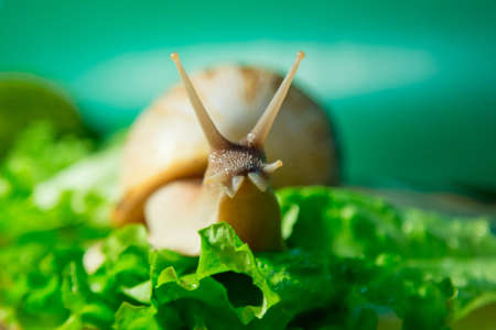 Home snail Achatina on green salad