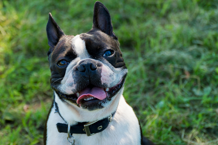 Dog French bulldog portrait outside On a sunny day