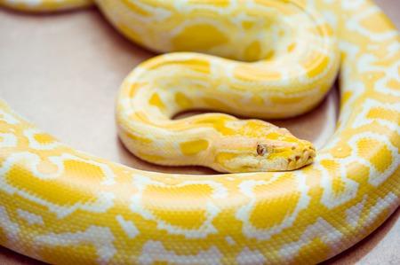 Gold Python,Reticulated python, Python reticulatus Albino snake with beautiful yellow texture. Exotic pet. Selective focus. Stock Photo