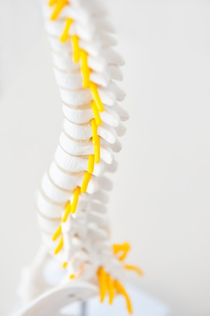 Close up part of human spine model with nervous processes on the light background. Medical, health and body care concept. Selective focus Stock Photo