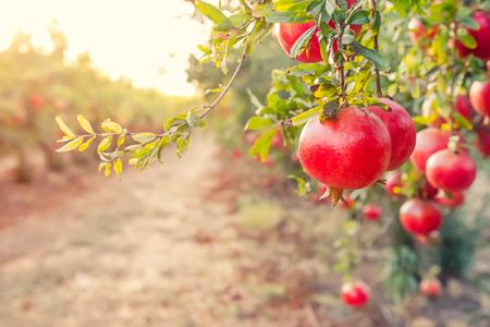 Steegje van rijpe granaatappelvruchten die op een boomtakken hangen in de tuin. Oogst concept. Zonsondergang licht. zachte selectieve aandacht, ruimte voor tekst Stockfoto
