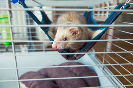 Beige ferret resting in his cage. Home pet concept. View through grid. Selective focus. copy space