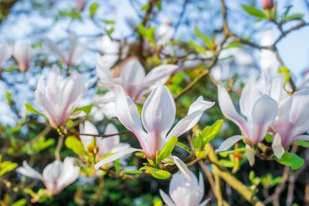 Flowering magnolia tree densely covered with beautiful fresh white and pink flowers in spring. Bright day sunshine. Horizontal card. Copy space.