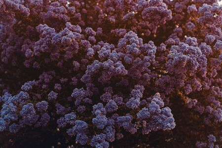 Close up blooming lilac flowers background in sunset light. Zeanotus lilac bush with tender flowers. Spring blossom time. Golden hour. Horizontal card