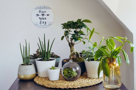 Home gardening concept. Composition of various green air plants, bonsai tree, succulents in pots on the black table. Beige wall background with an inspirational phrase. Modern Attic interior style.