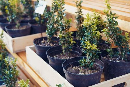 A bunch of potted plants in wooden box growing inside a greenhouse nursery. Selective focus. Foto de archivo