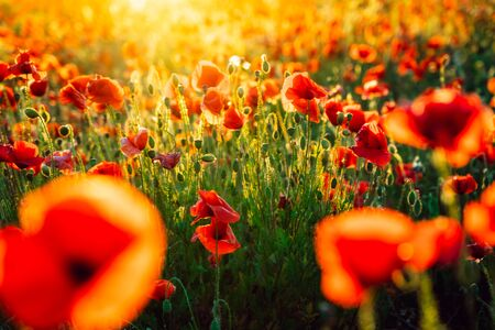 Beautiful blooming red poppy flowers field at sunset light. Selective focus. Copy space. Archivio Fotografico