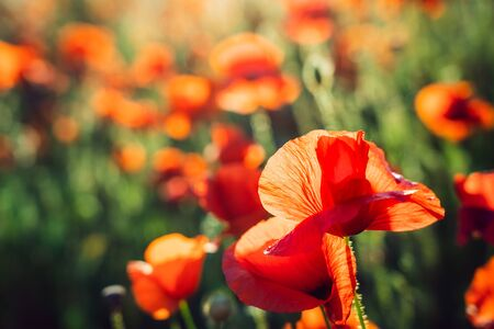 Beautiful blooming red poppy flowers field at sunset light. Selective focus. Copy space
