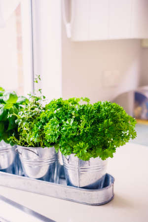 Selective focus homegrown parsley, thyme and basil herbs in pots on the kitchen in front of the window. Home planting and food growing. Sustainable lifestyle, plant-based foods. Vertical. Copy space Standard-Bild