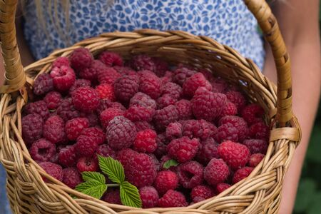 Little girl holding  basket full of fresh organic raspberries. Close-up summer red berries.