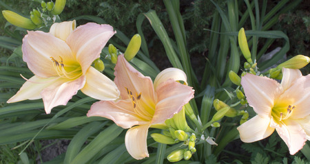 day lily: The day lily is photographed by a close up