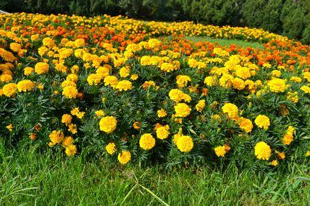 multiplicity: Blooming glade, chernobrivtsy