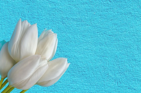 bunch of white tulips on a blue fabric background close up isolate Imagens