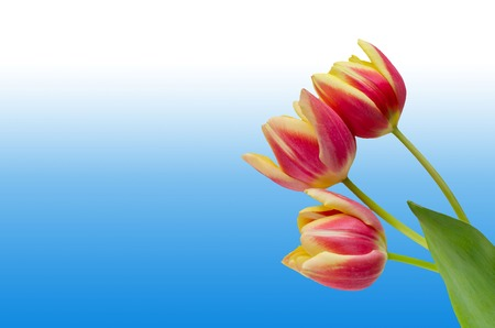 three yellow-pink tulips on a gradient blue and white background Banco de Imagens