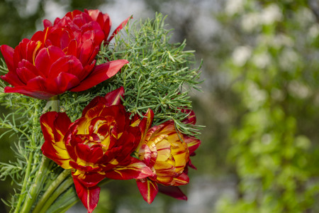 a bouquet of four red terry tulips and euphorbia on the left close up against the yellow-green bokeh