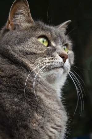 Seated cat. The gray looking beautiful smooth-haired kitty.