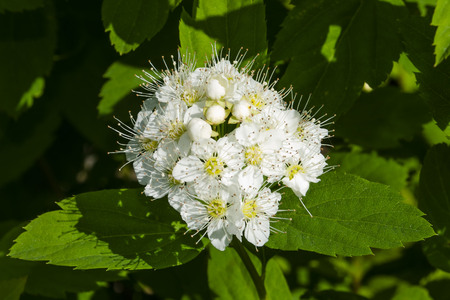spirea flower close up center