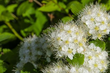 spirea flower close up in lower right corner