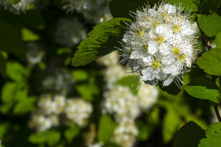 white spirea flower close up top right