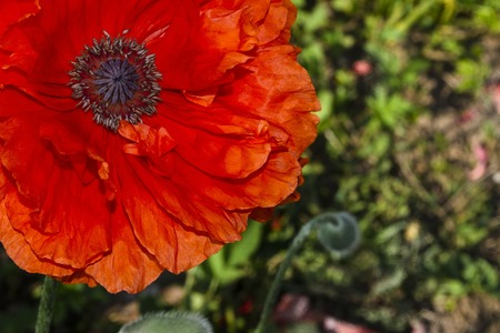a piece of red perennial poppy in the upper left corner